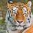 Центровые Тигры